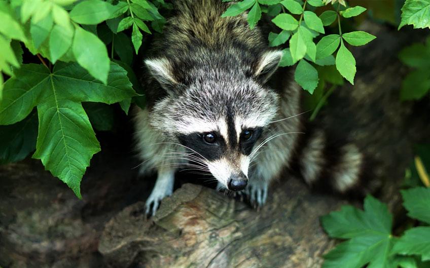 Racoon fur is sold as faux fur