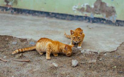 Cats for Adoption in Malta